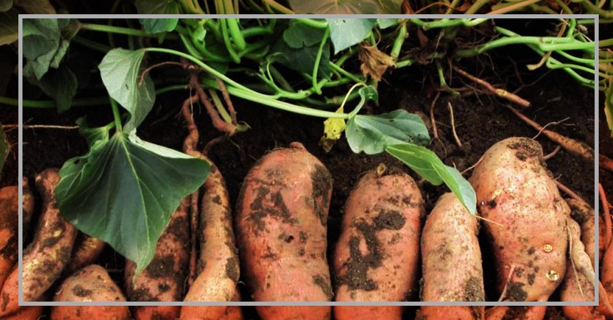 Cultivo del camote caracter sticas t cnicas y consejos for Que es una mesa de cultivo